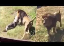 Enlace a Turistas captan el momento exacto en el que dos leones atacan sin piedad a una persona