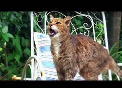 Enlace a ¿Por qué maúllan los gatos? (Inglés)