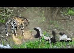 Enlace a Un tejón sorprendea un leopardo cuando iba a comerse a un compañero suyo