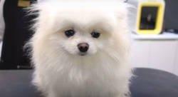 Enlace a El bonito look que le dejan a este perrete tras ir a la peluquería
