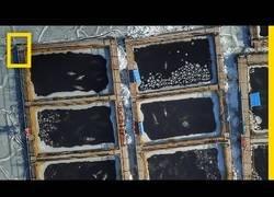 Enlace a Captan la imagen de orcas y belugas nadando entre hielo a punto de morir