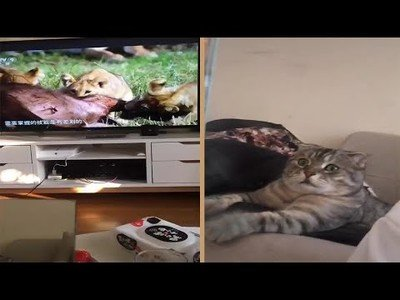Pillan a un gato totalmente aterrorizado mientras ve un documental de leones