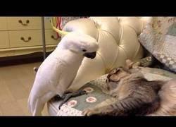 Enlace a Este loro solo quiere tener un amigo felino