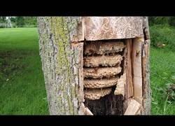 Enlace a La impresionante colonia de avispas encontrada en un árbol hueco