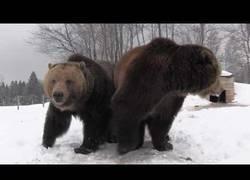 Enlace a Animales salvajes haciendo rugidos totalmente temibles