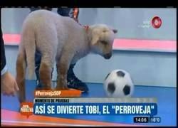 Enlace a Escándalo: quería comprar un perro y resultó ser una oveja
