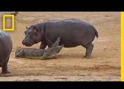 Enlace a Un hipopótamo bebé trata de jugar con un cocodrilo