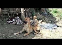 Enlace a Una perrita ha adoptado a un bebé de mono en la India y va con él a todas partes