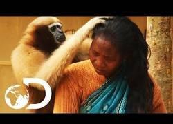 Enlace a Este simio comparte una relación fantástica con los humanos