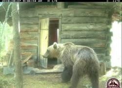 Enlace a Un oso se mete en una cabaña para robar un periódico y leerse las noticias locales