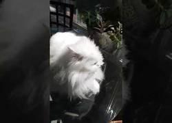 Enlace a Así es como saluda este gatico sordo desde hace 3 años a su dueño cuando le ve
