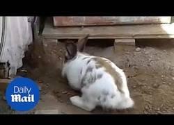 Enlace a Conejo rescatando a un gato