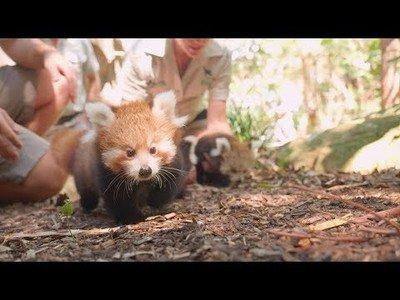 Conoce a los pandas rojos recién nacidos en el Zoo de Taronga en Sidney