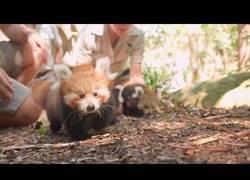 Enlace a Conoce a los pandas rojos recién nacidos en el Zoo de Taronga en Sidney