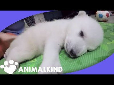 La evolución de un oso polar en sus primeros 90 días de vida