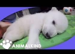 Enlace a La evolución de un oso polar en sus primeros 90 días de vida