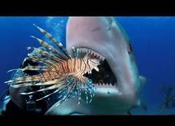Enlace a Enseñando a los tiburones y anguilas a comer peces leones