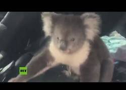 Enlace a Graban a un koala que se metió en el interior de un coche con aire acondicionado para huir del calor