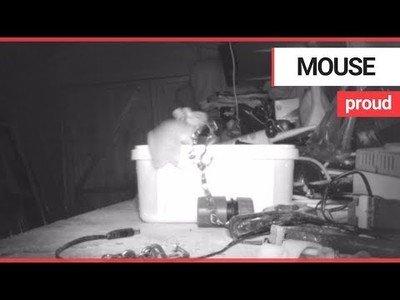 Este ratón encontró el trastero desordenado y se puso a poner cada cosa dentro de una caja