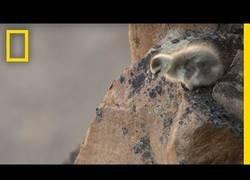 Enlace a Polluelos de ganso ártico que no saben volar saltan desde un acantilado para sobrevivir(min 3:05)
