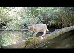 Enlace a Resumen de las imágenes de un cámara de vídeo trampa en un pequeño tronco muy transitado que atraviesa un río