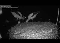 Enlace a Dos cigüeñas celebran su primer huevo