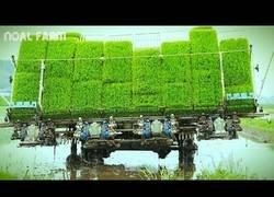 Enlace a Así funciona el cultivo del arroz en Japón