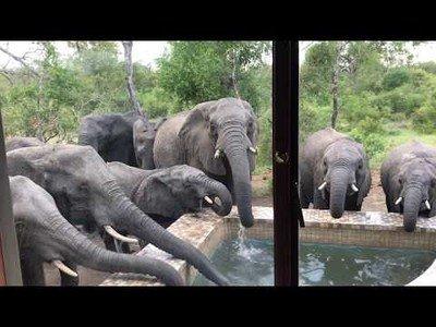 Este grupo de elefantes se para en una piscina para atiborrarse de agua