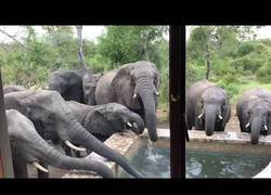 Enlace a Este grupo de elefantes se para en una piscina para atiborrarse de agua