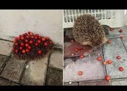 Enlace a Este erizo es el más listo del mundo usando sus cuerpo para llevarse cerezas