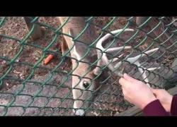 Enlace a A este ciervo le encanta que le hagan temblar los cuernos