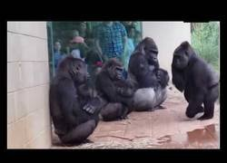Enlace a La reacción de los gorilas ante la lluvia