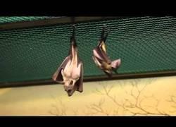 Enlace a Así es como hacen pis los murciélagos