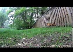Enlace a Zorro cazando a una ardilla
