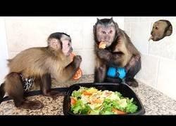 Enlace a Monos Capuchino disfrutan de una deliciosa ensalada