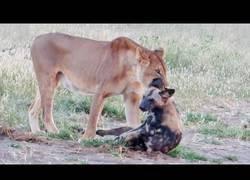 Enlace a Perro-hiena se logra zafar hábilmente de una leona que lo atrapa