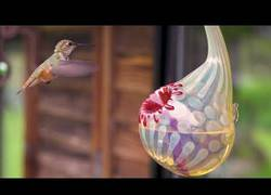 Enlace a Colibrí alimentándose en slow motion