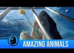 Enlace a Gran tiburón blanco ataca a un fotógrafo en una jaula