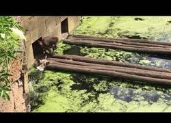 Enlace a Un babuino persigue a una familia de patos y consigue atrapar a dos