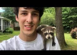 Enlace a Bebé mapache rescatado