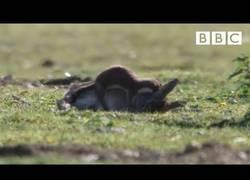 Enlace a Armiño atrapa y mata a un conejo 10 veces su tamaño