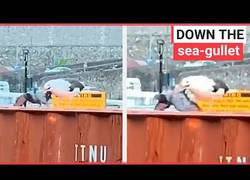 Enlace a Gaviota hambrienta caza a paloma