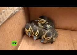Enlace a Bomberos rescatan a patitos gracias a un vídeo de Youtube