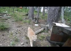 Enlace a Gato mantiene a raya a un oso cercano a su propiedad