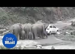 Enlace a Elefantes cabreados mueven coches que tapaban su ruta migratoria