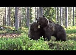 Enlace a ¿Alguna vez has querido ver a dos grandes osos pardos peleándose?