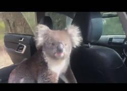 Enlace a Koala se cuela en un coche por el aire acondicionado