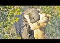 Enlace a Elefante vs leona