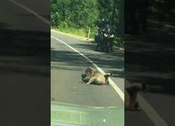 Enlace a Dos koalas peleando provocan un atasco en una carretera