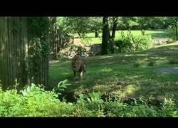 Enlace a Impresionante rugido de un león en el zoo de El Bronx